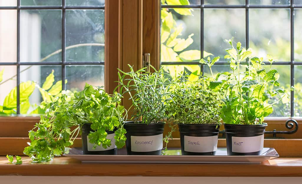 Small, black pots with white labels holding rosemary, thyme, coriander and mint plants in a sunny window.