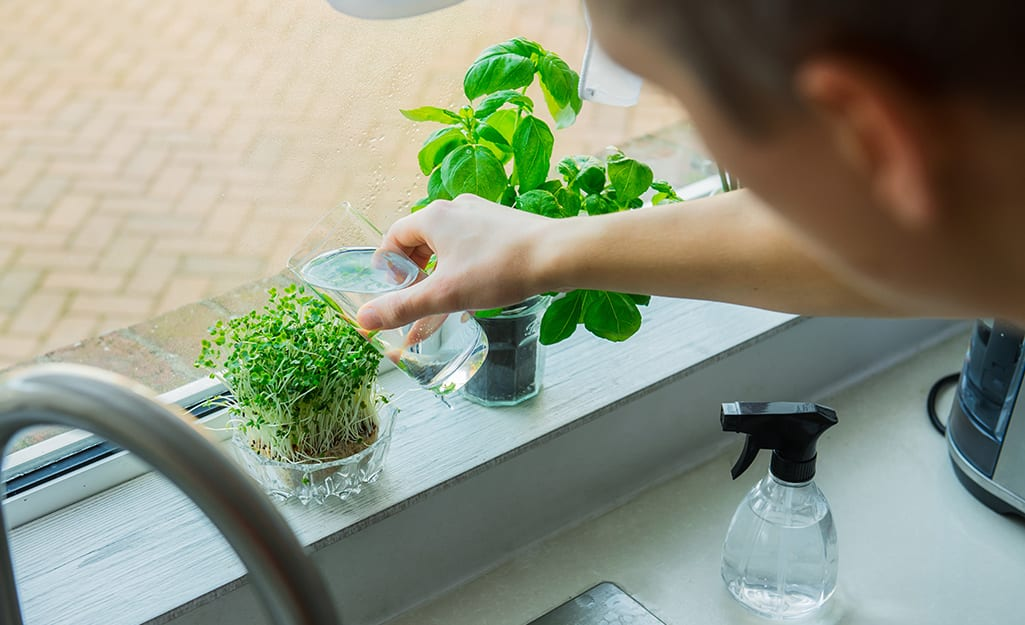 Someone using a small glass to water potted herbs and a saucer of sprouts on a windowsill.