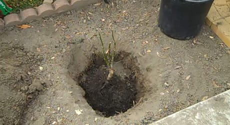 Place rose hole - Plant Bare-Root Rose