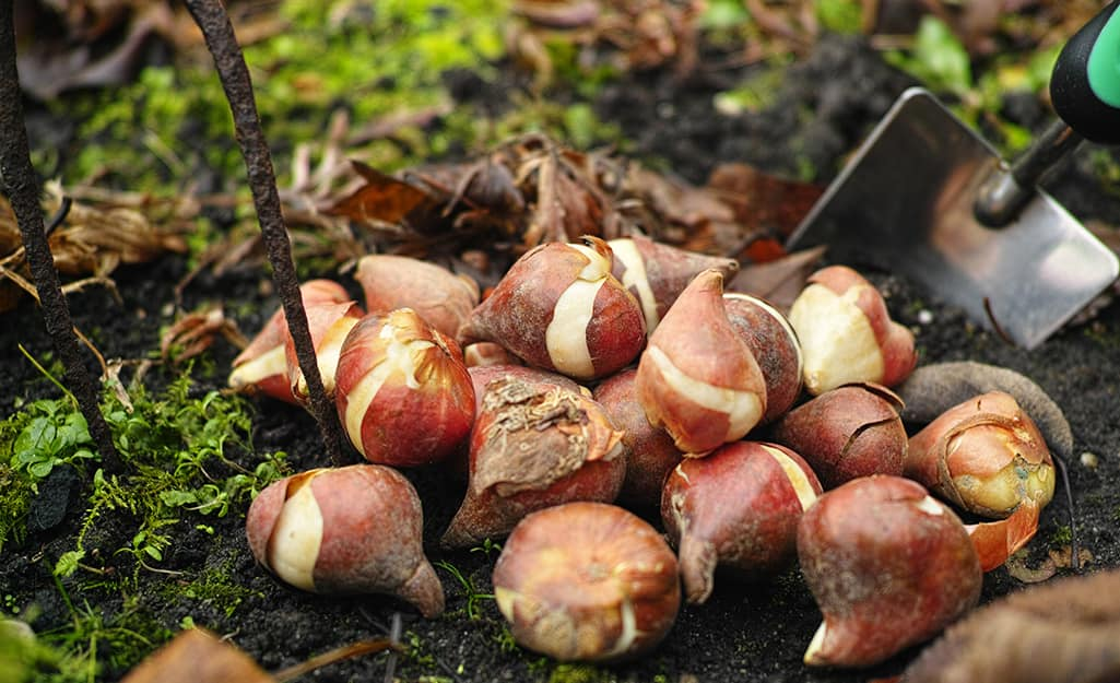 Bulbs planted in a garden bed