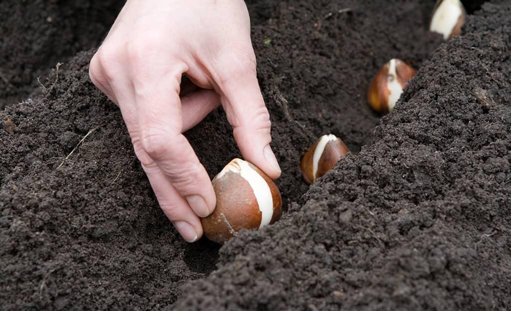 Gardener planting bulbs in soil