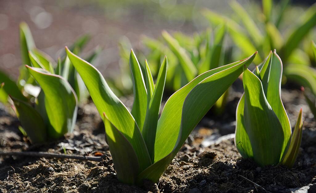 Tulip foliage emerging in spring