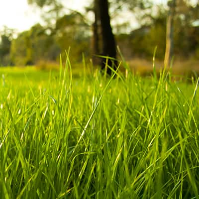 Grass growing in a lawn
