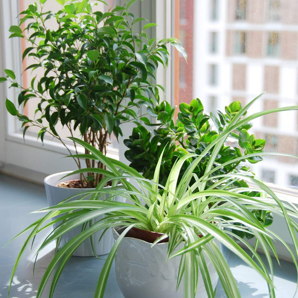 Three houseplants in white pots beside a brightly lit window.