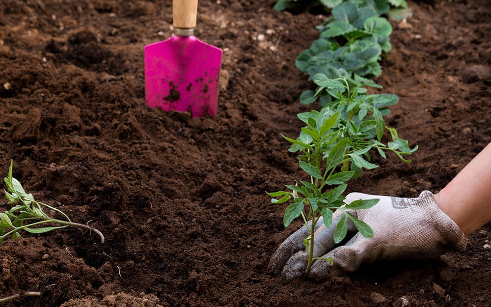 Digging in the soil to plant vegetables.