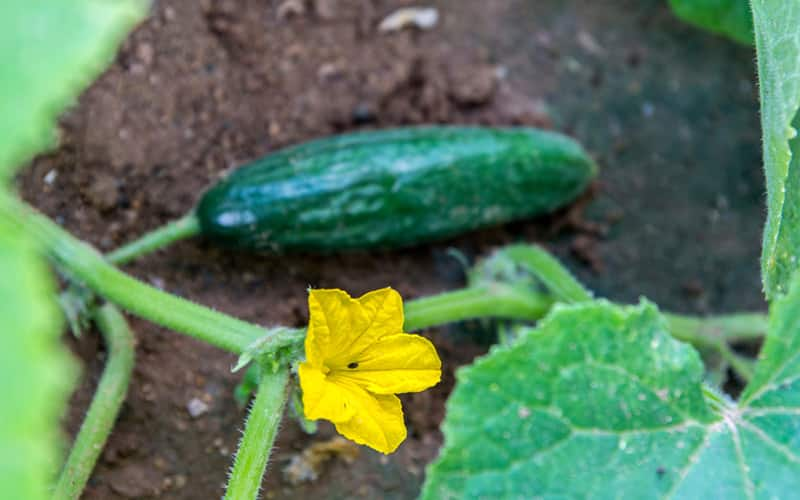 A cucumber and yellow bloom in garden soil