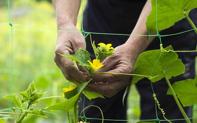 Gardener pruning cucumber leaves in a garden