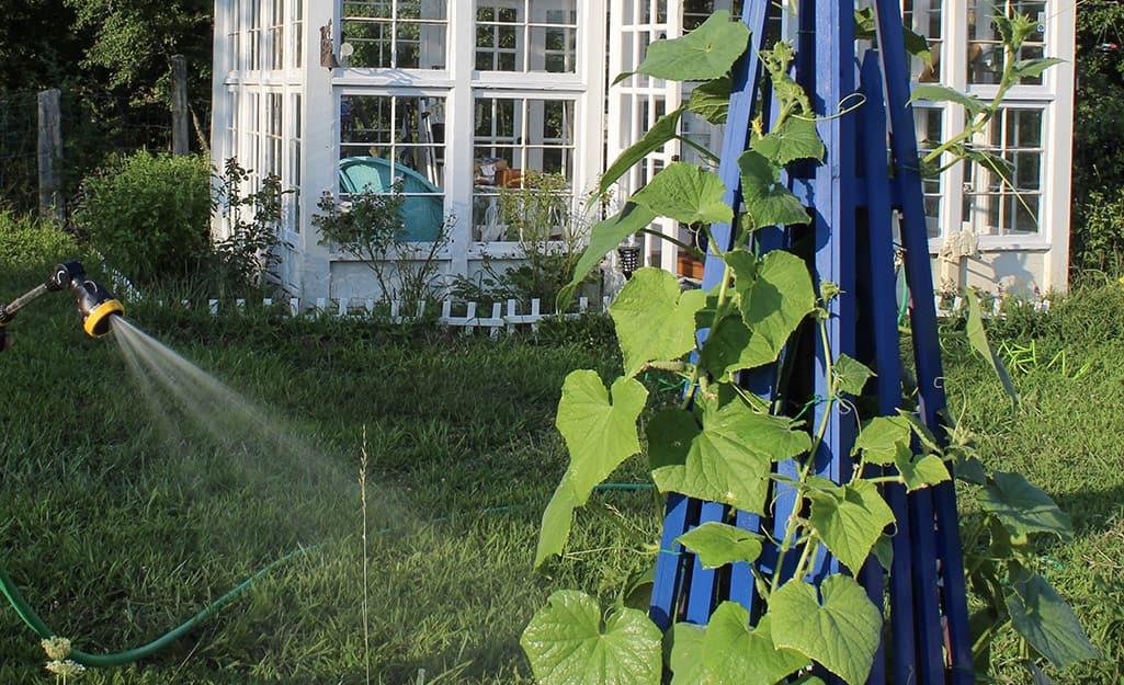 Cucumber vine growing on a trellis.