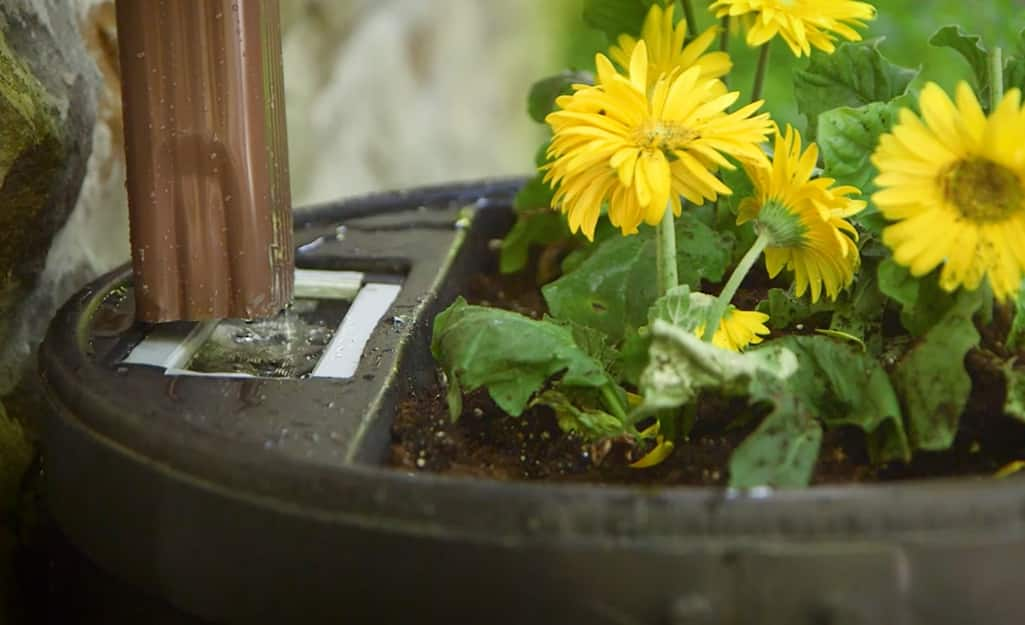 Water flows from a downspout into a rain barrel that has a small flowerbed built into the lid.