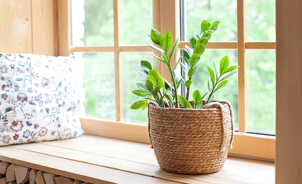 A ZZ plant potted in a woven basket rests on a window seat.