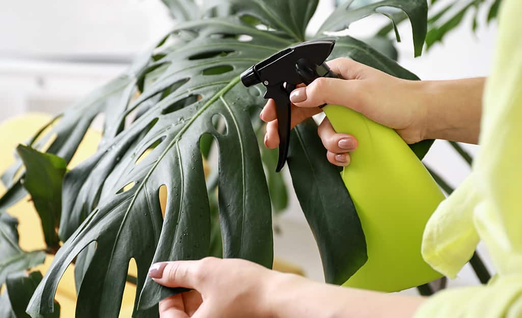 Someone misting a Monstera plant with a spray bottle filled with water.