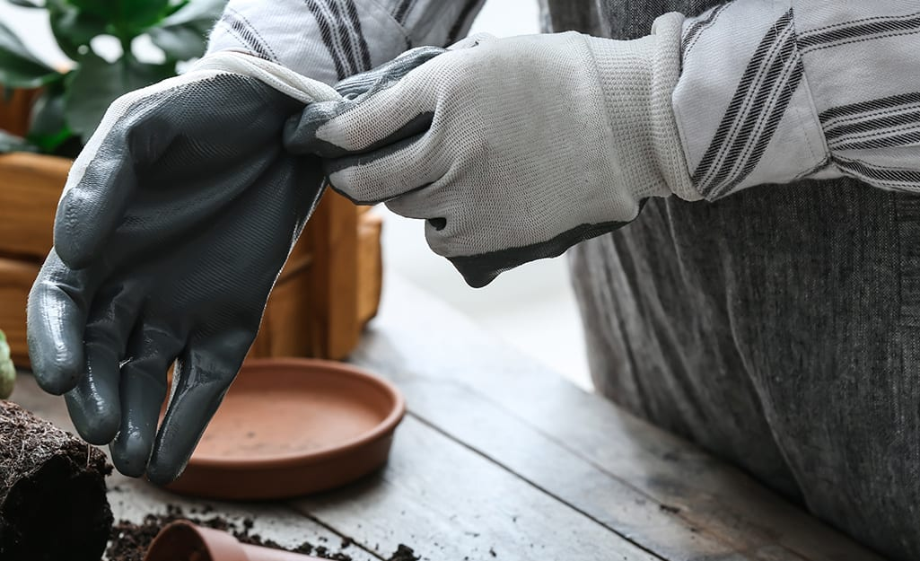 Someone putting on gardening gloves to protect against Monstera plant toxicity.