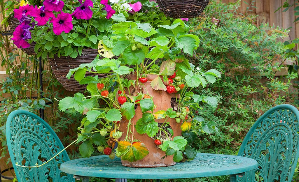 A strawberry jar planted with strawberries with a turquoise bistro set.