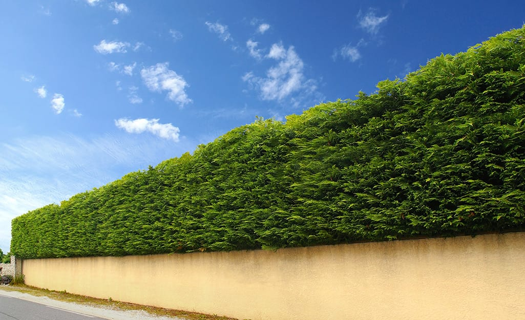 Shrubs planted closely together serve as a privacy fence above a long low wall