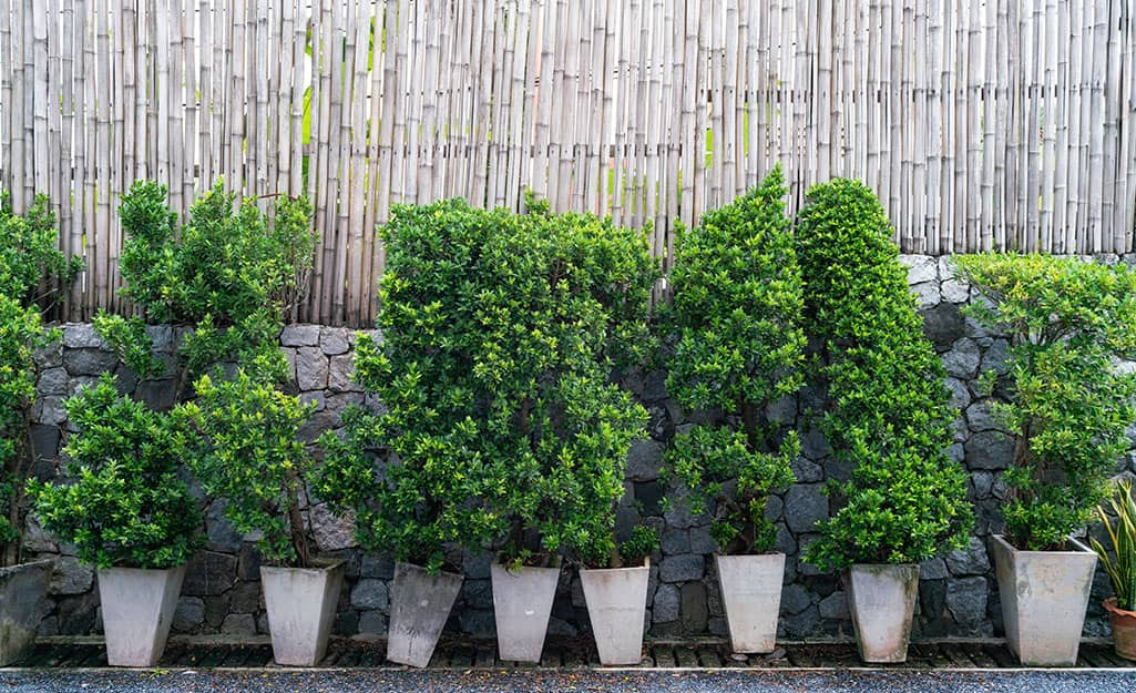 Trees planted in containers are lined up in a row to create a privacy fence