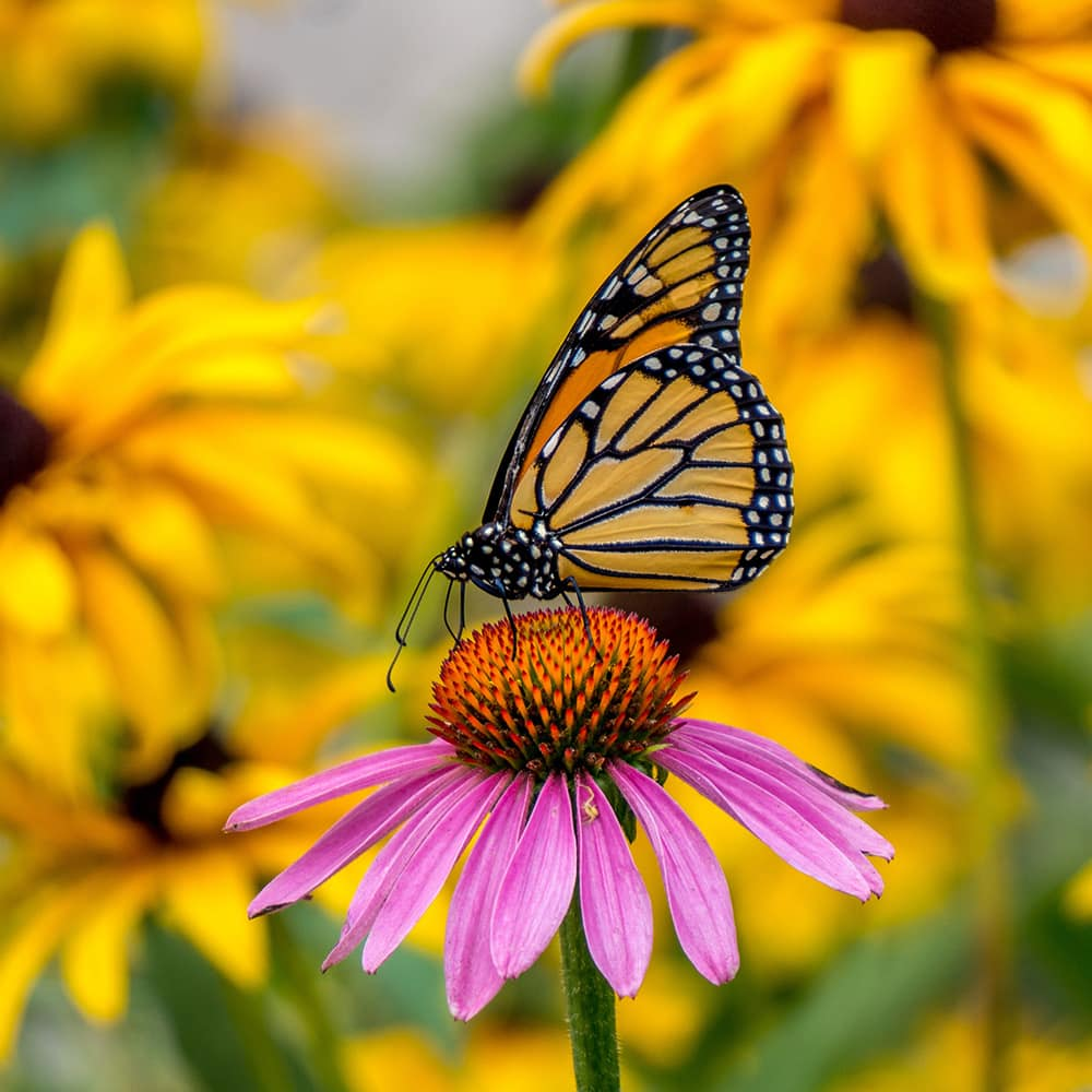 Monarch butterfly on pink coneflower with yellow rudbeckia