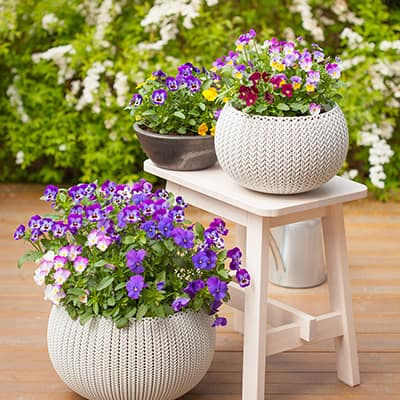 Pansies and violas in patio containers