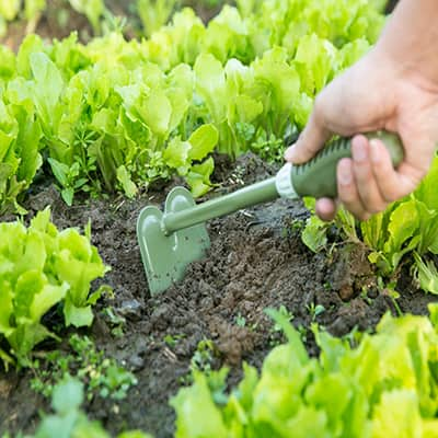 A person uses a draw hoe in a garden.