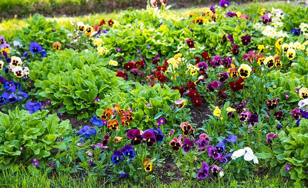 A large area of colorful, healthy flowers in bloom.