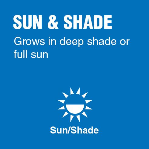 Sun & Shade - Grows in deep shade or full sun