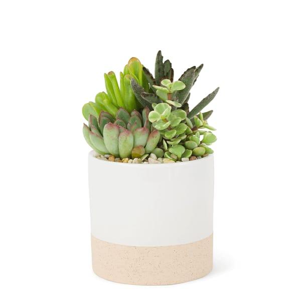 Pre-Potted Succulents