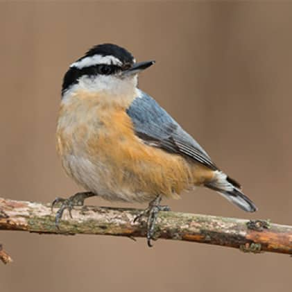 nuthatches, squirrel resistant seed feeders