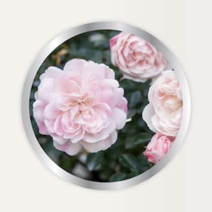 Alaska Morbloom Fertilizer use on roses