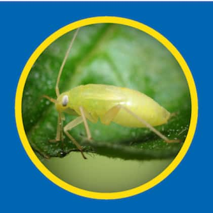 Sevin-5 Ready-To-Use 5% Dust kills aphids