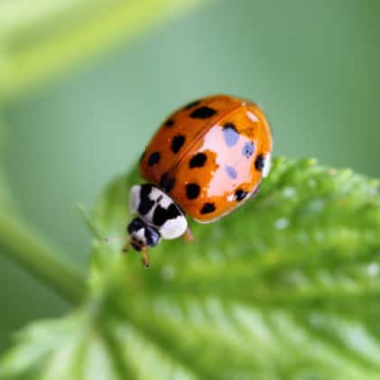 What We Catch - Asian Lady Beetles