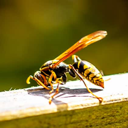 What We Catch - Wasps, Hornets, and Yellow Jackets