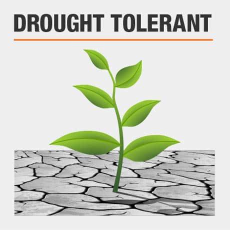 Drought Tolerant