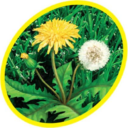close up of dandelion with pappus in grass