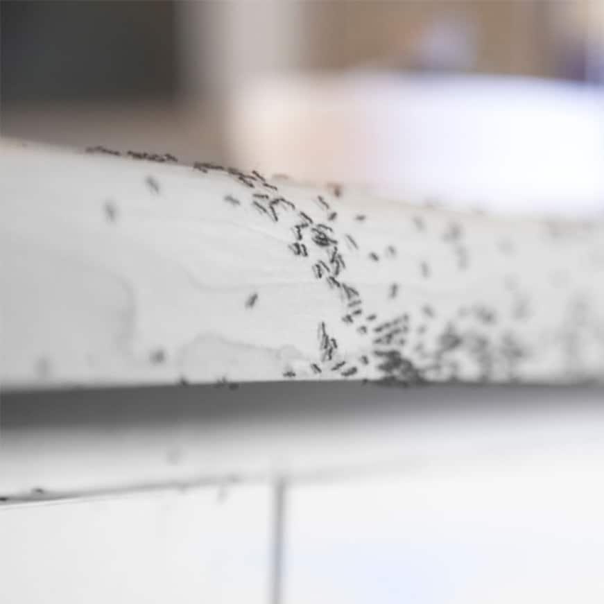 kill the ants you see and the ones you don't, liquid ant bait