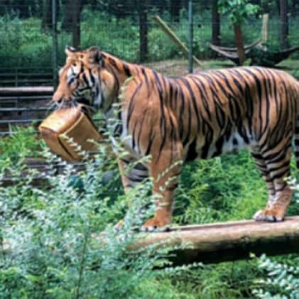 tiger with recycled Owens Corning material in habitat