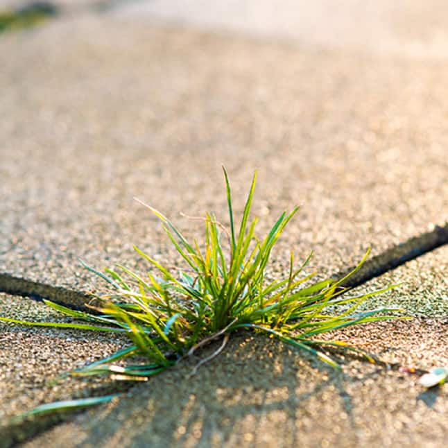 grassy weed growing in between pavers