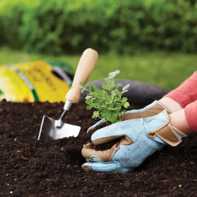 Planting in garden soil.