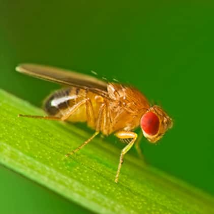 fruit fly facts, fruit fly trap