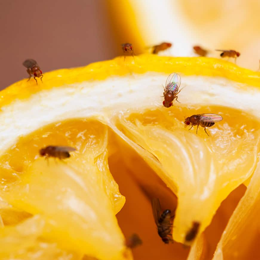 fruit fly trap eliminates fruit fly infestations