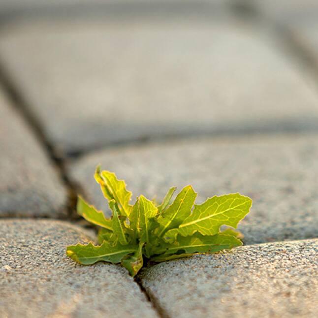 broadleaf weed growing in between pavers