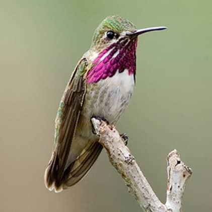 calliope hummingbirds, top fill hummingbird feeders