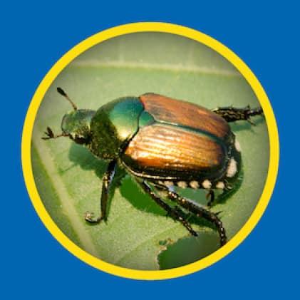 Sevin Ready-To-Use Insect Killer Power Sprayer kills japanese beetles