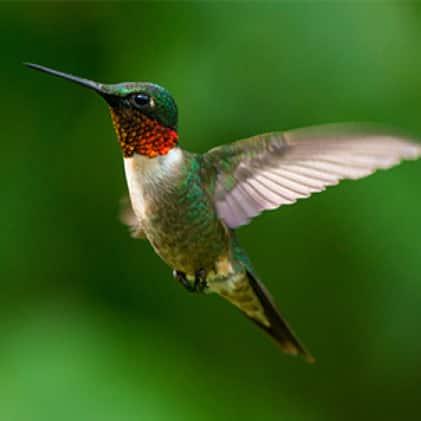 ruby throated hummingbirds, top fill hummingbird feeders