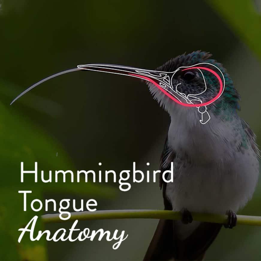 how hummingbirds eat, core top fill hummingbird feeders