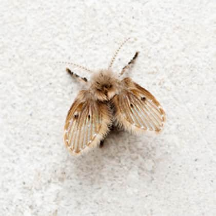 What We Catch - Drain Flies