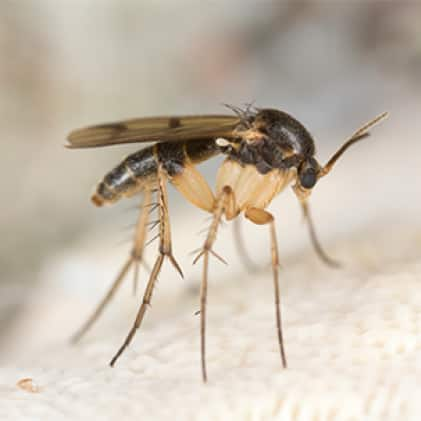 What We Catch - Fungus Gnats