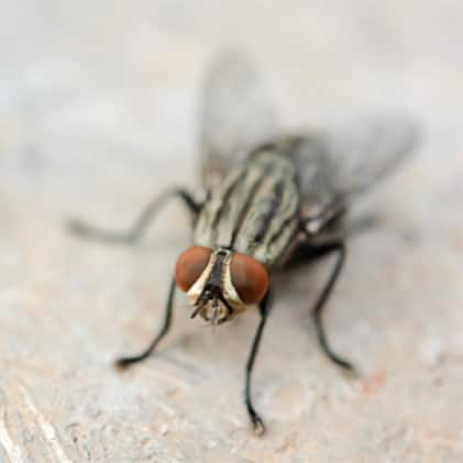 What We Catch - House Flies