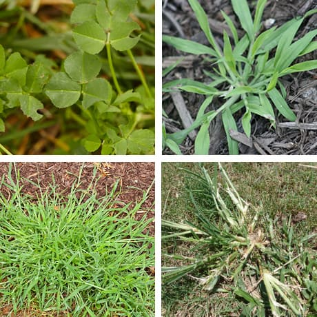 Photo of four different weeds.