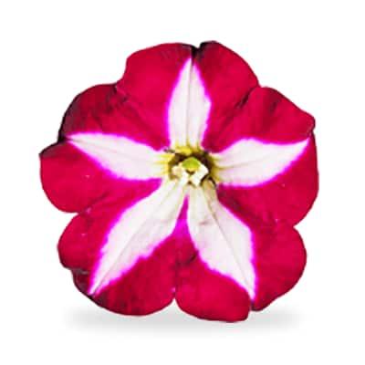 Multi-colored annuals