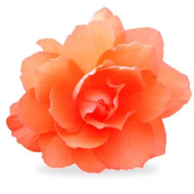 Orange annuals