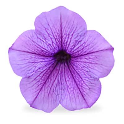 Purple annuals